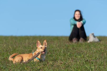 Cute little dog chewing on a wooden stick and female owner sitting on a grassy meadow ground in background. Hiking, pets, love and friendship concepts. Reklamní fotografie