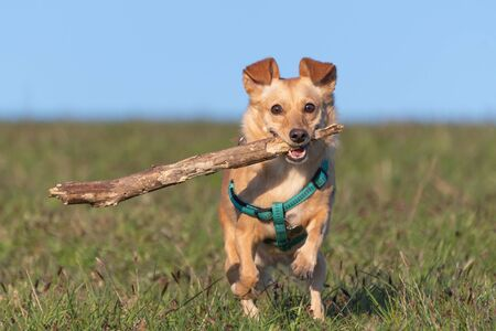 Cute little dog with green harness running with a wooden stick in its mouth on meadow grass. Pets, animal friend, play and dog training concepts.