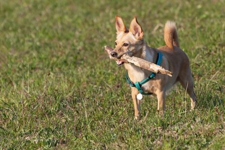 Cute little dog with with a wooden stick in its mouth attentively observing surrounding area. Pets, animal friend, play and dog training concepts. Reklamní fotografie