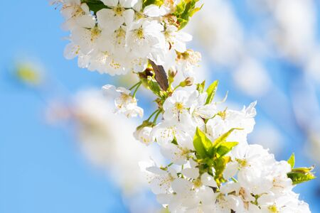 Beautiful sunlit cherry blossoms with blue sky in background. Spring, new life, botany and freshness concepts