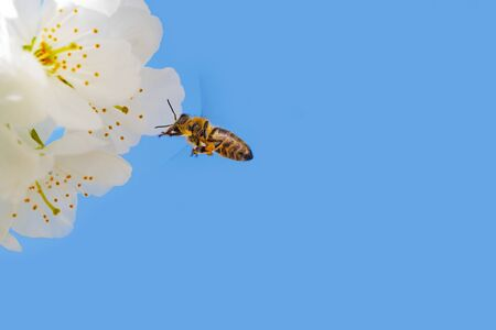 European honey bee hovering next to blooming white cherry blossoms. Insects, agriculture, botany and season concepts
