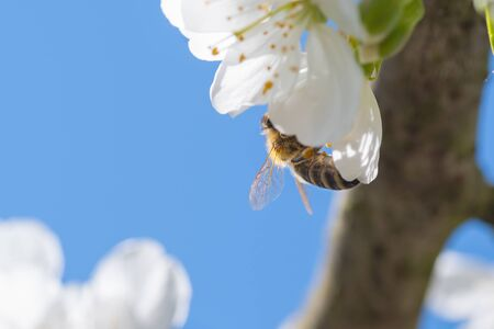 European honey bee pollinating blooming white cherry blossoms. Insects, agriculture, botany and season concepts Reklamní fotografie