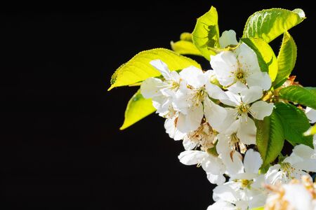 Sunlit white cherry blossoms on black background. Botany, flowers, seasons and agriculture concepts