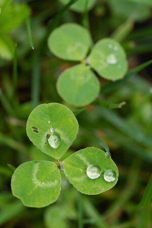 Closeup of white clover leaves with droplets of dew. Nature, symbols, environment and botany concepts
