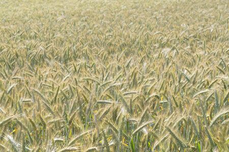 Beautiful golden rye field in early summer. Agriculture, farming, food, GMO and beer concepts. Reklamní fotografie