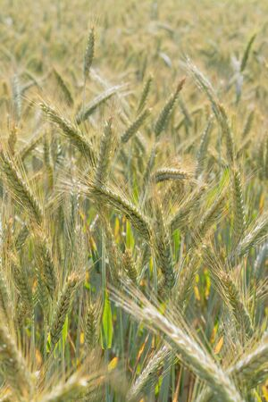 Closeup of golden rye field on sunny day. Agriculture, farming, food, GMO and beer concepts.