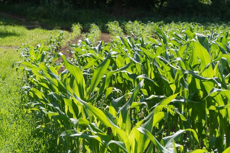 Closeup of young green corn plants growing in corn field. Agriculture, farming, GMO and food concepts.