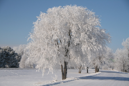 Tree covered in frost on a cold winter morning along a country road photo
