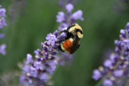 violette fleur: Orange, jaune et noir bourdon sur une fleur violette
