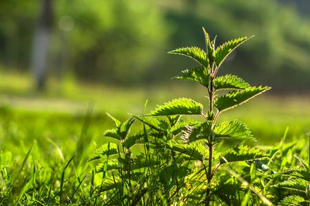 두드러기 식물