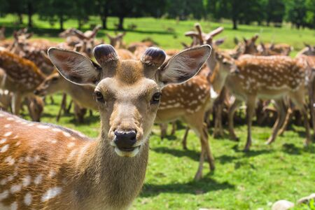 A herd of deer on the farm Stock Photo