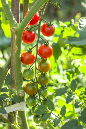 cherry tomatoes in the garden. Natural product Imagens