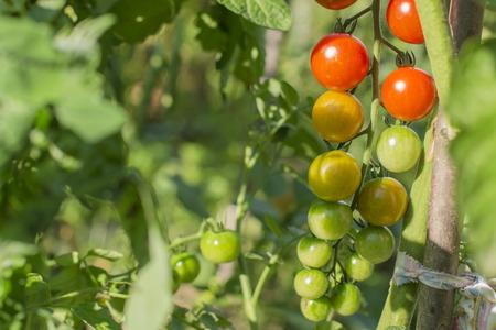 체리 토마토 정원에서. 천연 제품