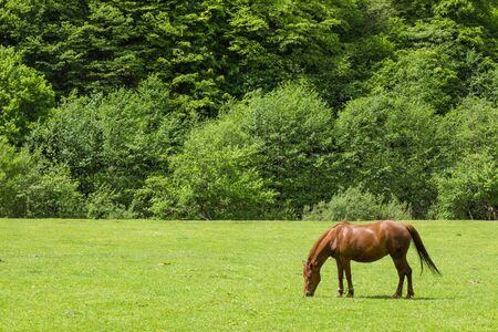 horse grazes grass on a green field on a background of trees. Pets. Agriculture. beautiful nature. Stockfoto
