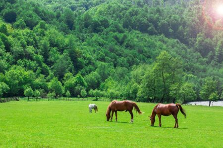 horses graze the grass on a green glade on a background of trees and mountains near the river. Pets. time of year summer.