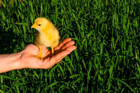 hand holds a small yellow chicken on a background of green grass. Agriculture. Pets .
