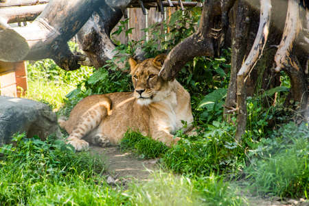 a lion in the park lies near a tree. wild animals. Standard-Bild