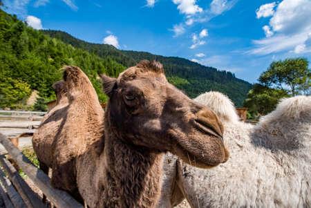 camel in the home park. wild animals. Standard-Bild