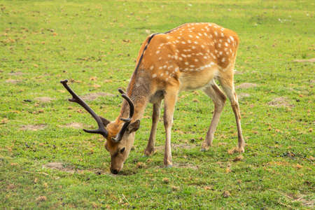 young deer graze on a pasture near the forest. Animals. close-up Stock Photo