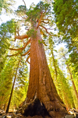 sequoia: The largest sequoia in the Mariposa Grove.