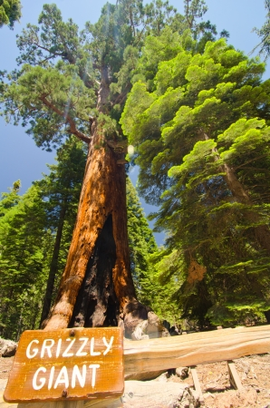 mariposa: The largest sequoia in the Mariposa Grove Stock Photo
