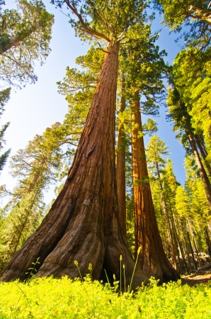 A giant sequoia at Yosemite National Park photo