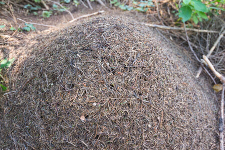 bustle: Large anthill in the woods Stock Photo