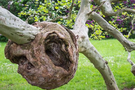 burl wood: Burl on a tree,Freak of nature