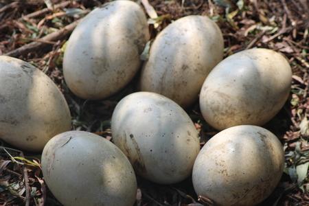 ostrich chick: Ostrich Eggs Stock Photo
