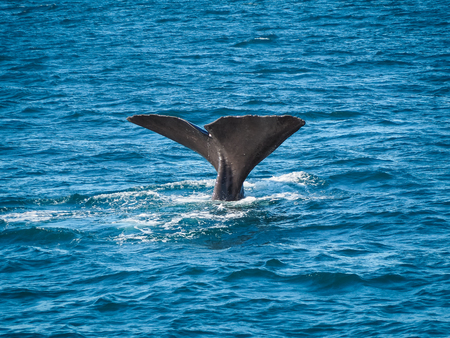 A whale is rolling to the side and showing its big tail. (Kaikoura, New Zealand)
