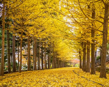 은행 나무, 도쿄, 일본에서에서 황금 터널.