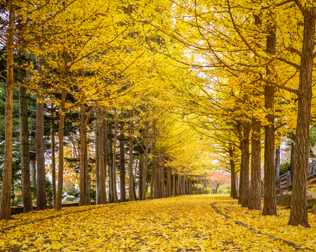 Ginkgo trees, the golden tunnel in autumn in Tokyo, Japan.