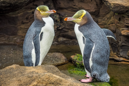 Tow Yellow Eyed Penguins are in the wild. New Zealand native penguin.