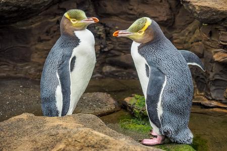 Tow Yellow Eyed Penguins sind in freier Wildbahn. Einheimischer neuseeländischer Pinguin.