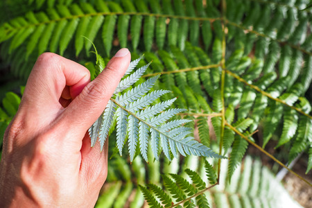 The silver fern, the icon of New Zealand.