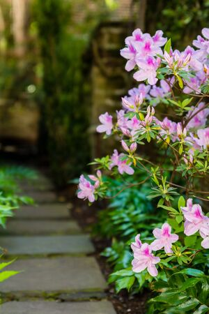 Tranquil garden features oleanders along the sidewalk. 免版税图像