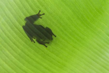 Shadow of Frog