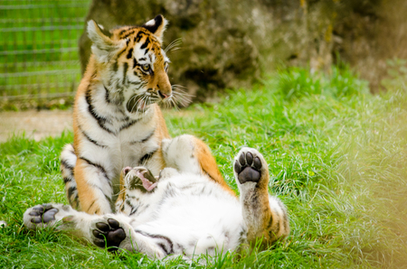 amur: Two Amur Tiger Cubs fighting Stock Photo