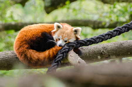 bearcat: A Red Panda tries to get ot sleep on a tree branch Stock Photo
