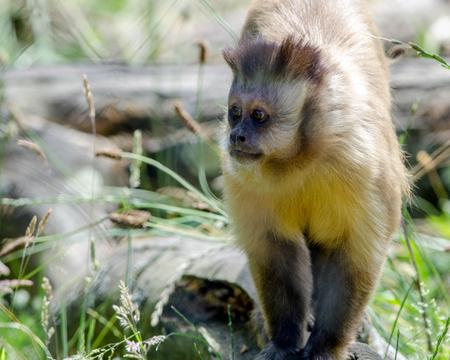 카푸 친 회 원숭이가 그 영토를 걷습니다. 스톡 콘텐츠