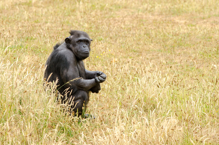 A chimpanzee sits and observes