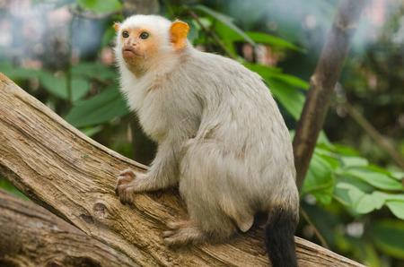 silvery: A Silvery marmoset climbs a tree Stock Photo