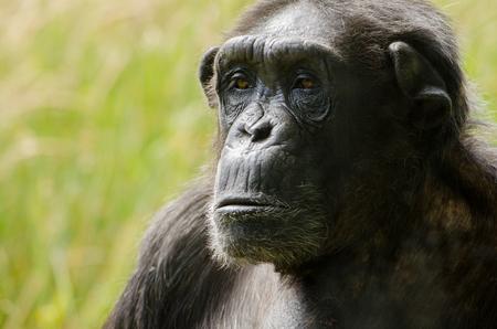 A chimpanzee headshot, in close up Stock Photo