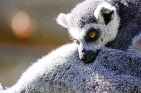 A Ring-Tailed Lemur cuddles a friend in the sunshine Stock Photo
