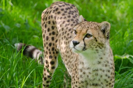 A Cheetah prowls in the grass