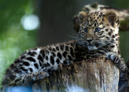 An Amur Leopard Cub lounges in a tree Stock Photo