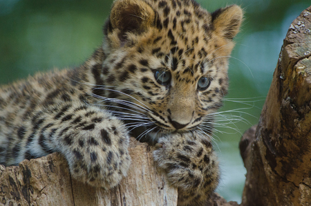 An Amur Leopard Cub lounges in a tree 版權商用圖片
