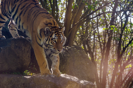 An Amur tiger prowling in the undergrowth