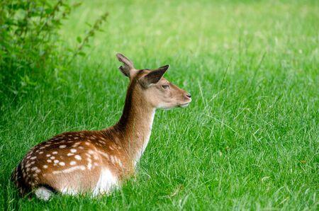 A deer resting