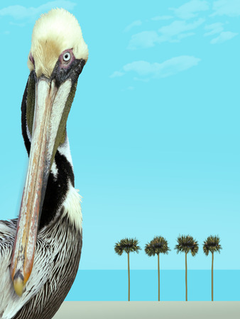 A brown pelican is seen in this photograph with a digital beach background. Stock Photo